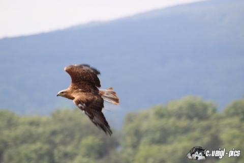 Greifvogelflugshow auf der Burg Kreuzenstein (6. August 2016)