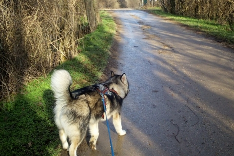 Nukka from Ridaldundaga (Meine Alaskan Malamute Hündin)